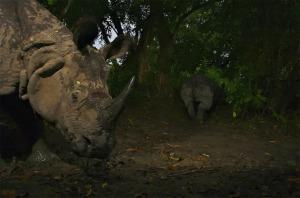 Rinocerontes, India.